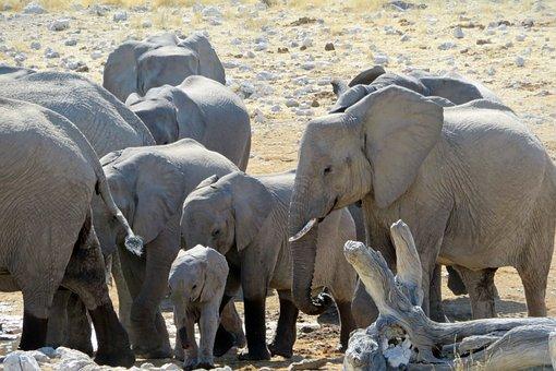 Elephant, Herd, Africa, Baby, Grey, Namibia, Etosha
