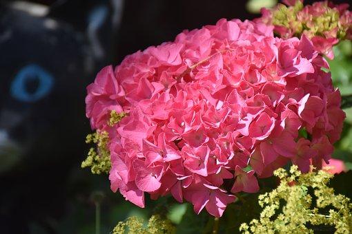Hydrangea, Blossom, Bloom, Summer, Garden, Nature, Pink