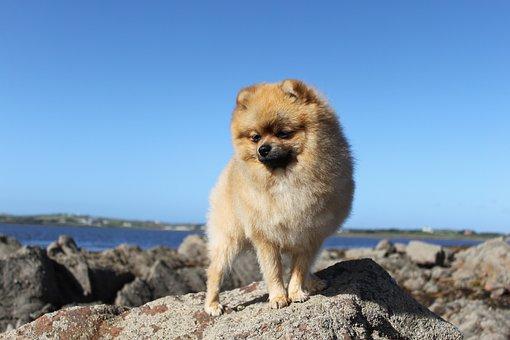 Spitz Miniature, Pure-breed Dog, Pet, A Friend Of Man
