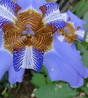 Flower Iris, Garden, Plant