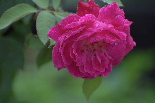 Rose, Pink Flower, Droplets, Rain Drops On Rose