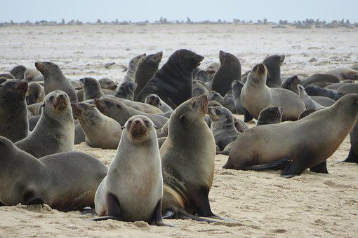 Sea Lions, Seals, Mammals, Sailors, Sea, Beach, Colony