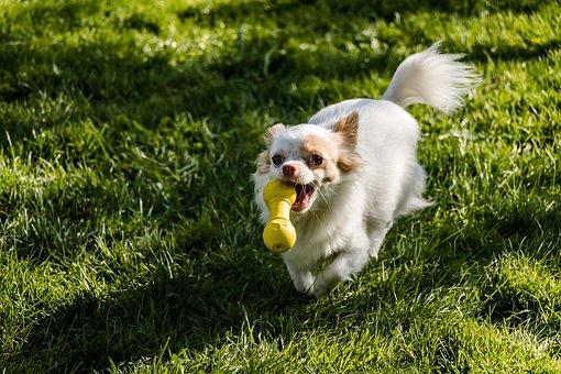 Chihuahua, Dog, Long Hair Chihuahua, Small, Cute